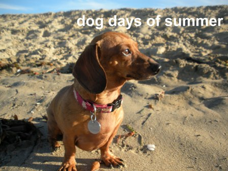 dog-days-summer-doxie