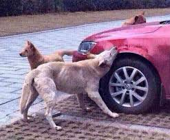 dog biting car