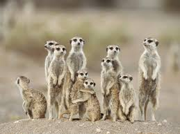 Meerkat Tribe 2
