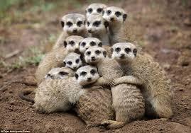 Meerkat Tribe 3