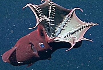 Vampire Squid (1)