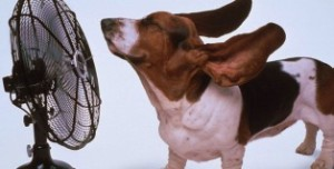 basset hound_fan