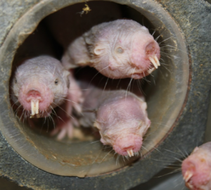 three-naked-mole-rats