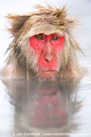 bad-hair-macaque