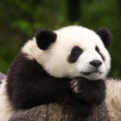 thinking-panda.jpg