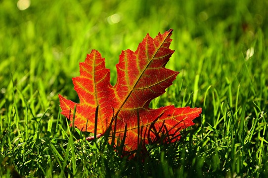 maple-leaf-3680684_960_720.jpg